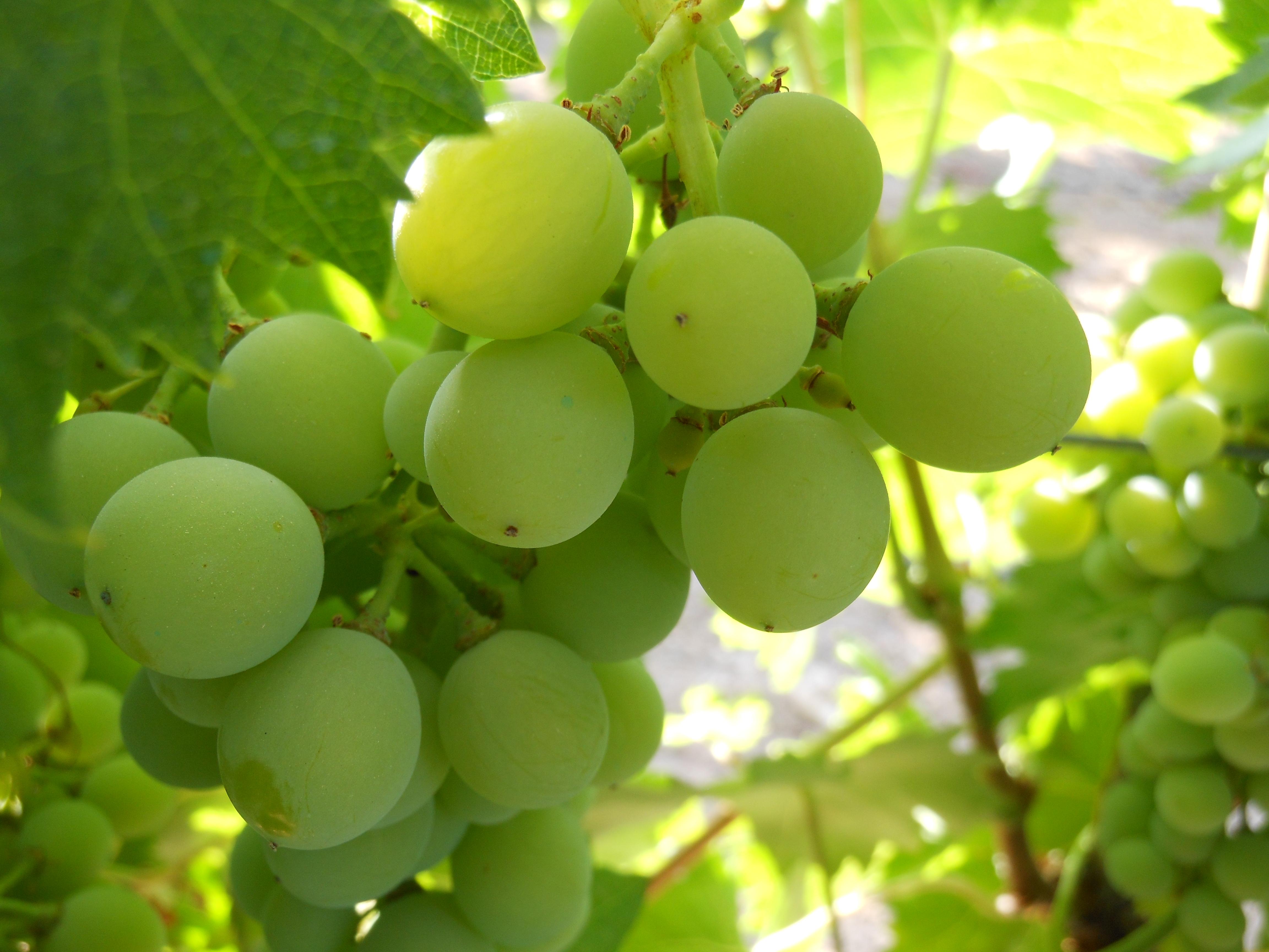 La vid, el vino y el CSIC: http://www.delascosasdelcomer.com/2015/10/19/la-vid-el-vino-y-el-csic-dos-siglos-de-investigacion-en-el-real-jardin-botanico/