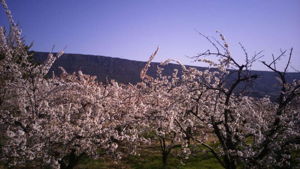 Comienza la floración de los cerezos